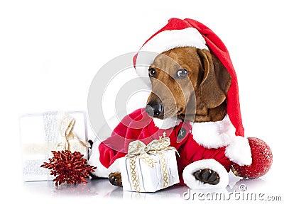 Bassotto tedesco del cane che porta un cappello di santa - Porta in tedesco ...