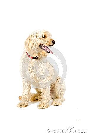 Bastard dog