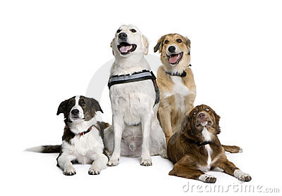 Bastard dogs sitting in front of white background