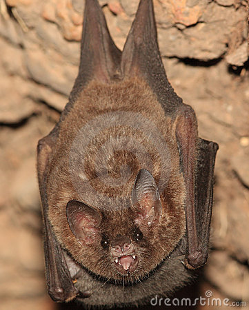 Bat from Bolivia