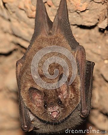 Bat from Bolivia