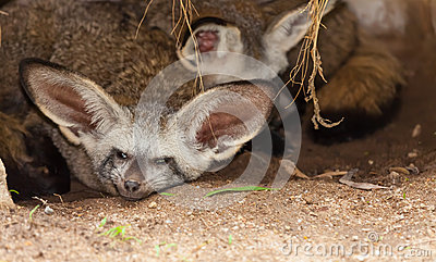 The Bat-eared fox and his family