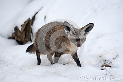 Bat Eared Fox - Otocyon megalotis in Snow, Prague Zoo