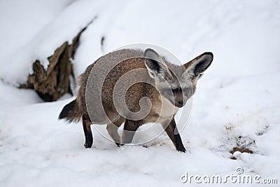 Bat Eared Fox - Otocyon megalotis in Snow, Prague Zoo