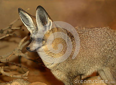 Bat Eared Fox closeup