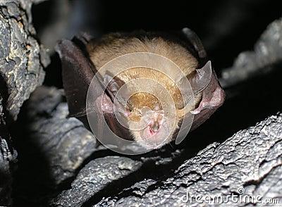 Bat Rhinolophus ferrumequinum