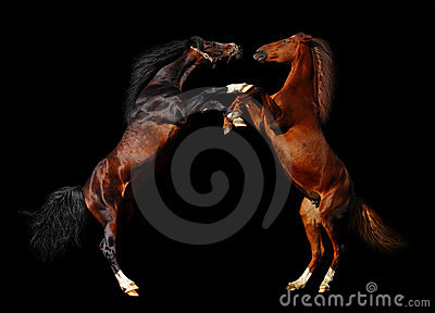 Batalla de caballos