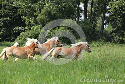 Batch of chestnut horses running in freedom