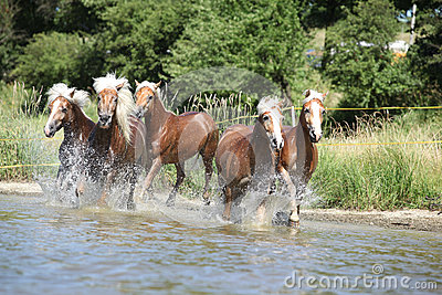 Batch of chestnut horses in water