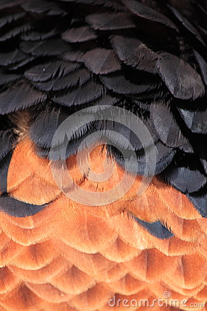 Bateleur feathers close up