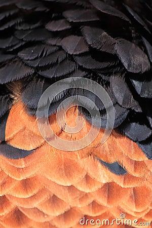 Bateleur feathers close up