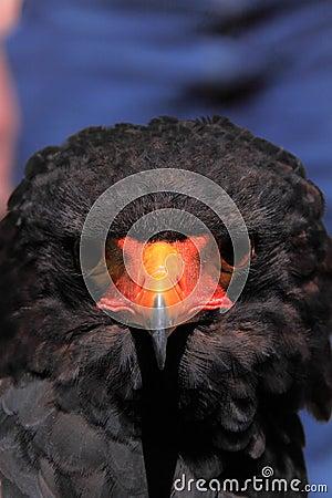 Bateleur head close up