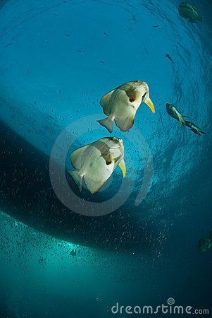 Batfish pair