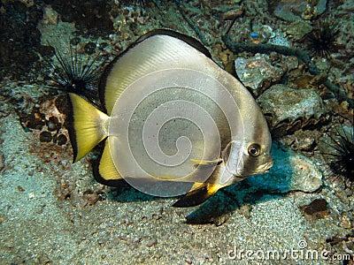 Batfish pierzastodzielny pinnatus platax