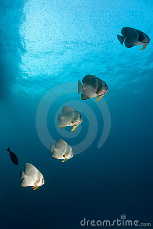 Free Batfish Sequence Stock Images - 21638894