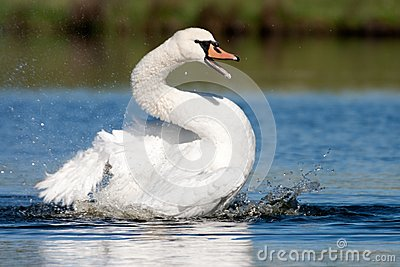 The Bath of Mute Swan