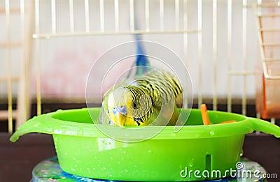 Bathed budgerigar parrot