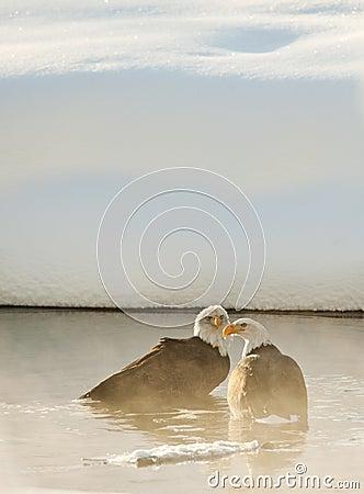 Bathing Bald eagles
