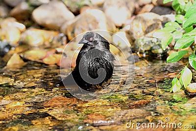 Bathing Bronzed Cowbird