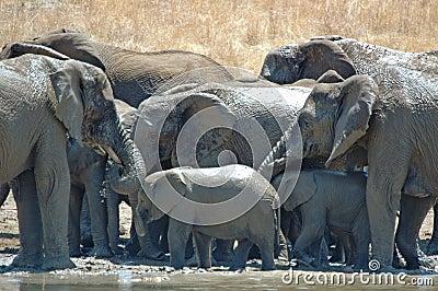 Bathing Elephants.