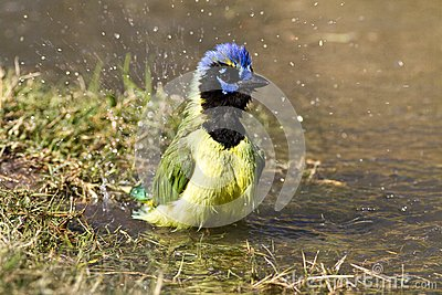 Bathing green jay