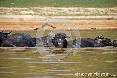 Bathing Oxes in Taman Negara, Malaysia