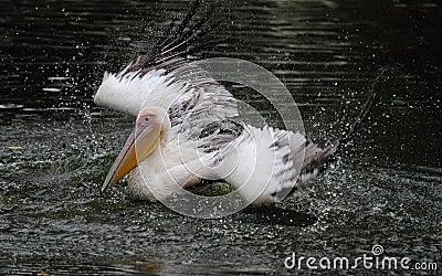Bathing Pelican