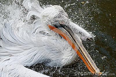 Bathing pelican