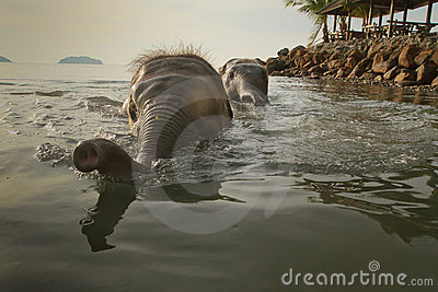 Bathing two elephants in the sea