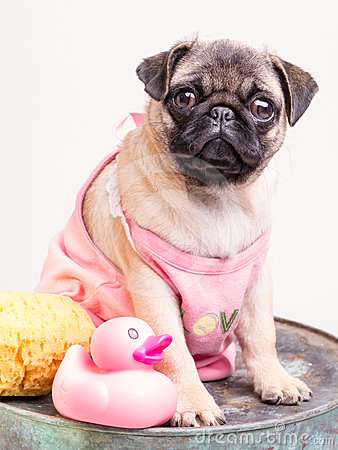 Bathtime for a Pug Puppy in Pink