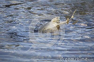Battered Chum Salmon