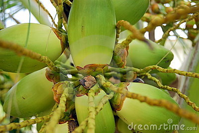 Batterie des noix de coco vertes