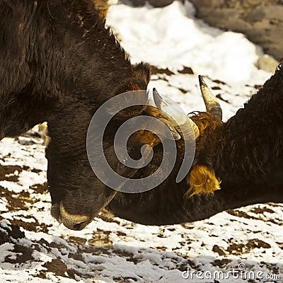Battle of the bulls