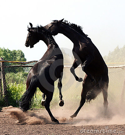 Battle of two stallions