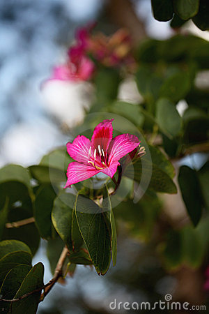 Free Bauhinia Flower Stock Photo - 23302700