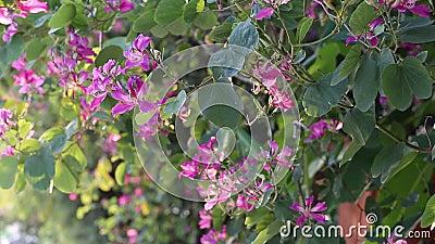 Bauhiniapurpurea, Lam Dong-provincie, Vietnam stock video