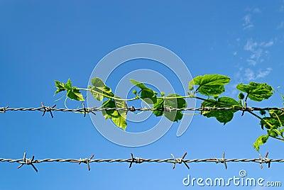 Baum, der die scharfen Spitzen des Widerhakendrahts versteckt