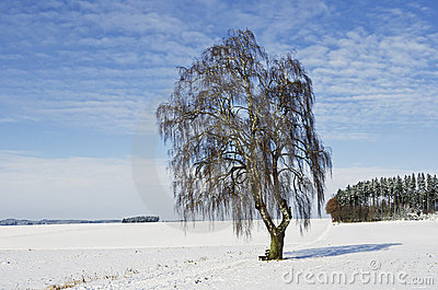 A Bavarian birch in wintertime