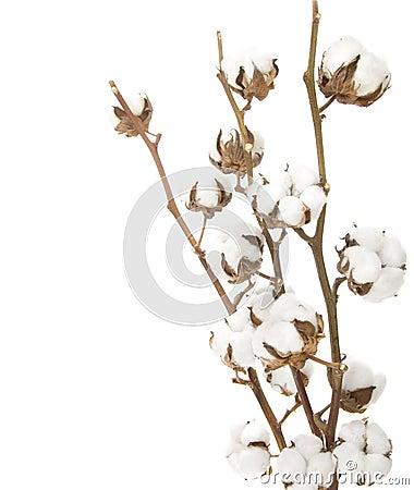 Bawełniana roślina