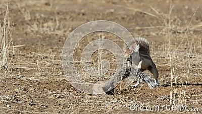 Bawić się zmielone wiewiórki