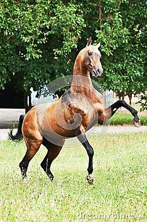 Bay akhal-teke horse rearing
