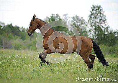 Bay akhal-teke horse runs free
