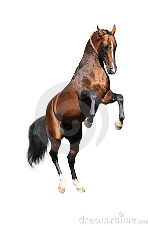 Bay Akhal-teke stallion rearing, isolated on white