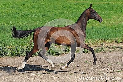 Bay akhal-teke stallion trot