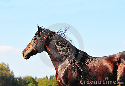 Bay andalusian horse portrait stallion in action