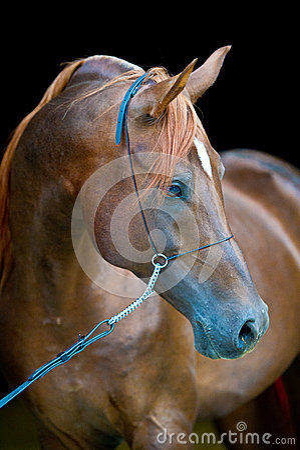 Red arabian horse portrait on black