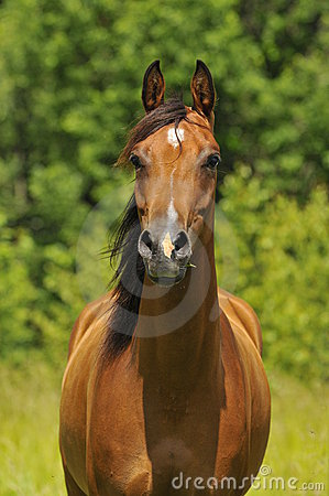 Bay arabian horse portrait