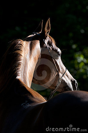 Free Bay Arabian Horse Portrait Stock Photos - 16017513