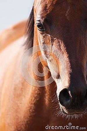 Bay arabian horse portrait in front focus