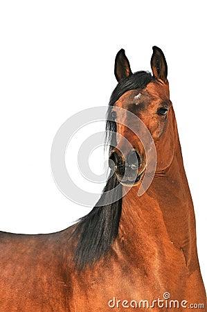 Bay arabian horse portrait on white